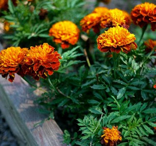 Marigold Seed Collection with The Boy